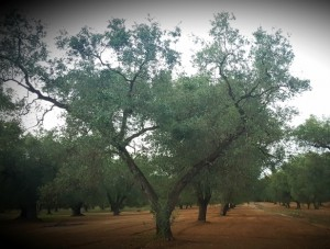 """Puglia: storia dei suoi ulivi e dei """"solari"""" abusi"""