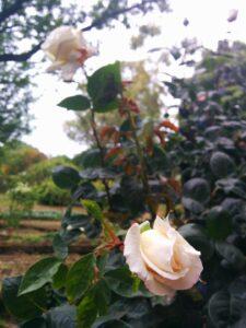 Quella rosa chiamata Ilaria #NoiNonArchiviamo
